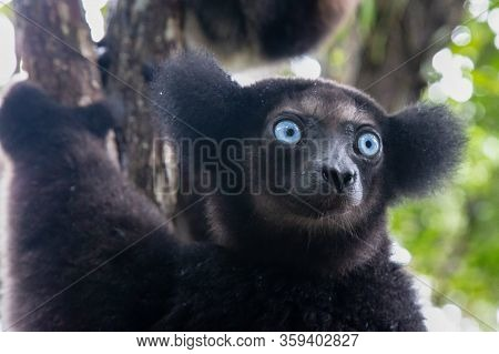 Portrait Of The Indri Lemurs In A Rainforest In Madagascar