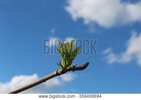 A Detailed Close-up Shot Of A Tree Branch With Leafs Sprouts Against A Blue Sky
