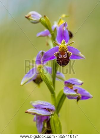 Bee Orchid (ophrys Apifera) Bunch Of Pink Flowers Mimicing Humblebee Insects To Polinate The Flower.