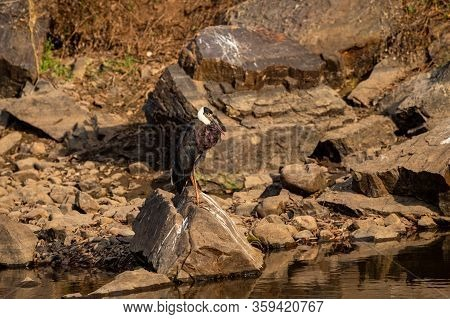 Woolly Necked Stork Or Whitenecked Stork Perched On Rock Which Is Submerged In Water Body At Rantham