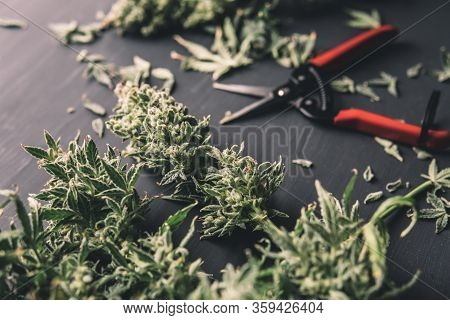 Mans Hands Trimming Marijuana Bud. Trim Before Drying. Growers Trim Their Pot Buds Before Drying. Th