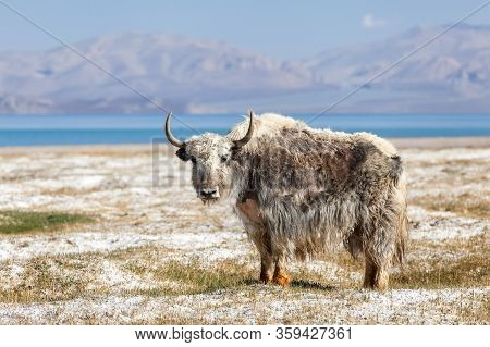 Beautiful View Of  Yak At Karakul Lake In Pamir In Tajikistan