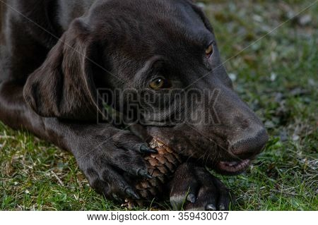 A Young German Shorthaired Pointer Puppy Playing And Gnawing On A Pinecone