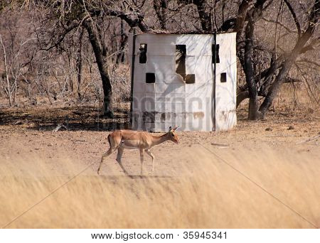 Bow Hunters Hideout With Impala