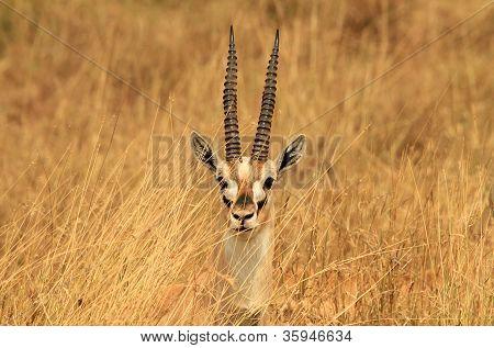 Thomson's Gazelle Headshot