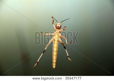 locust at the window