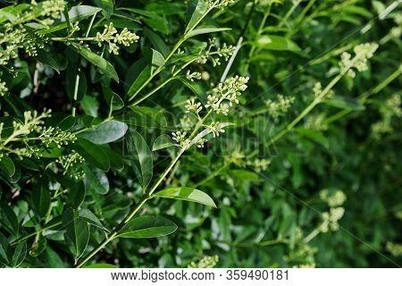 Closeup Of A Flowering Branch Of Privet Hedge, Ligustrum Vulgare Plant