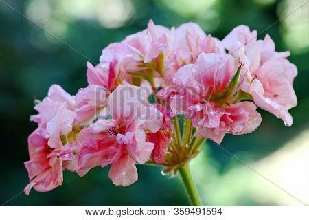 Pink Geranium Flowers (pelargonium Peltatum) With Water Droplets Commonly Known As Cranesbills, Clos