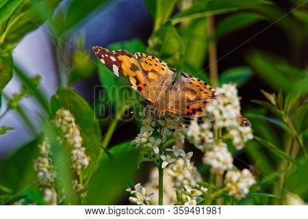 Painted Lady Butterfly (vanessa Cardui) With Opened Wings On White Flower Of Privet Hedge