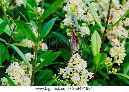 Painted Lady Butterfly (vanessa Cardui) With Closed Wings On White Flower Of Privet Hedge