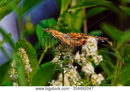 Painted Lady Butterfly (cynthia Cardui) With Opened Wings On White Flower Of Privet Hedge