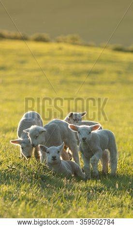 cute little lambs on fresh green meadow during sunrise