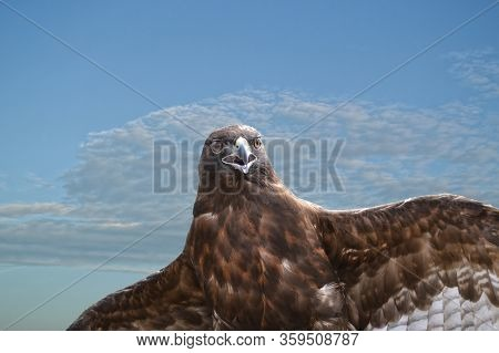 Closeup On Perched Red-tailed Hawk, Buteo Jamaicensis, Spreading Its Wings Against Cloudy Sky