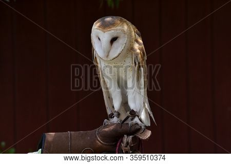 Close Up On A Rescued Barn Owl, Tyto Alba, Held By A Caretaker, Against Brown Barn Background, Selec