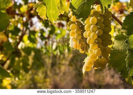 Bunches Or Ripe White Riesling Grapes Growing In Organic Vineyard At Harvest Time With Copy Space On