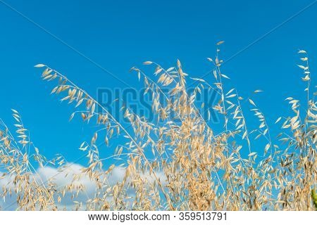 Stalks Of Ripe Oats In Motion In The Wind On A Blue Sky Background. Avena Sativa. Limited Depth Of F