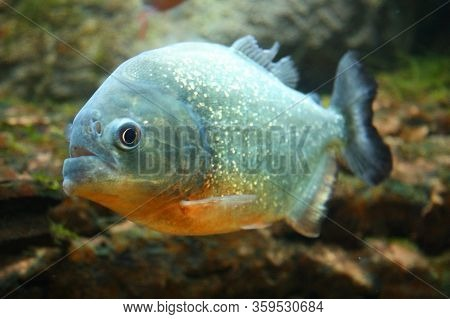 Portrait Of A Piranha Fish.common Piranha,pygocentrus Nattereri.species Of Predatory Rayfin Fish Fro