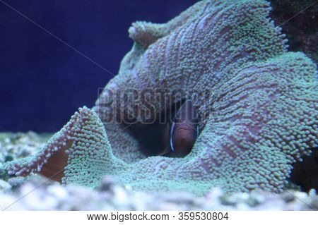 Sad Clown Fish Hid In A Coral, Seaweed. Lonely Aquarium Fish. The Concept Of Isolation, Loneliness A