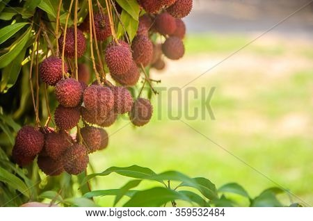 Fresh Ripe Red Lychee Fruit Hang On The Lychee Tree In The Garden.