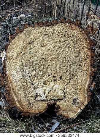 End Of A Recently Cut Tree, Visible Holes From Wood Pests, The Texture Of The Cut Wood