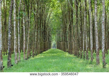 Landscape Of Hevea Brasiliensis Muell. Arg. Or Para Rubber Garden