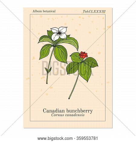 Canadian Bunchberry Cornus Canadensis , Or Dwarf Cornel, Quatre-temps, Crackerberry, Creeping Dogwoo