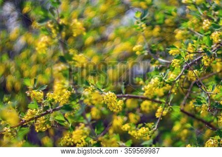 Colorful Yellow Background Of A Flowering Tree Abstraction. Selective Focus Blurr