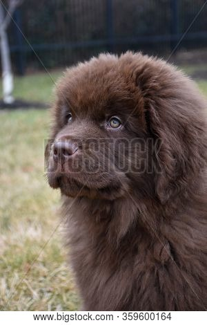Really Stunning Profile Of A Chocolate Brown Newfie Pup.