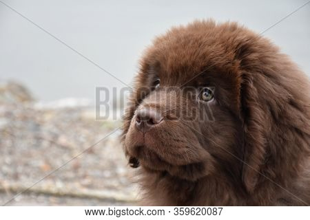 Side Profile Of A Chocolate Brown Shaggy Newfoundland Puppy Dog.