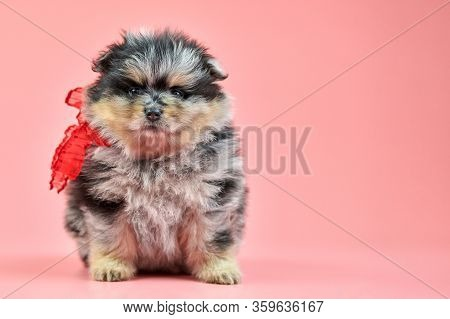 Pomeranian Spitz Puppy, Copy Space. Cute Fluffy Tri-colored Spitz Dog On Pink Background. Family-fri