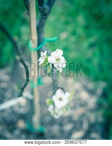 Shallow Dof Blossom Flower On Dormant Asian Pear Tree With Bamboo Stake And Green Tie In Texas, Usa