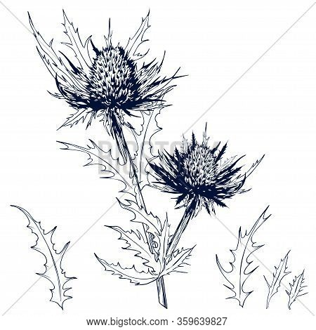 Sketchy Blue Thistle Flowers And Leaves. Eryngium Alpinum Or Alpin Sea Holly. Hand Drawn Vector Illu