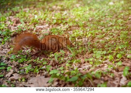 Small Squirrel On The Grass, Close Up