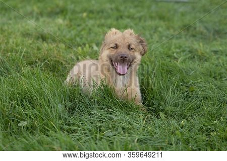 Close Up On Cute Brown Mixed Breed Dog On Grass, Smiling