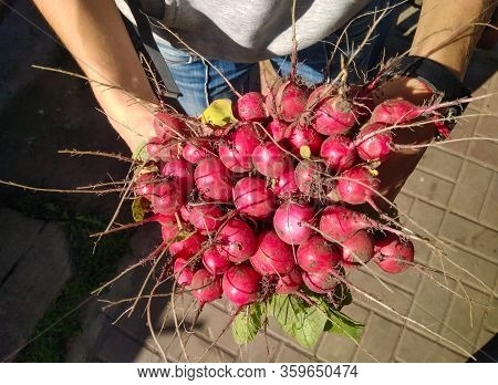 Bunch Of Freshly Picked Radish With Roots Up In Sunlight Holding In Hands, Closeup. Organic Vegetabl