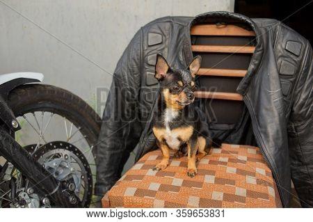 Pet Dog Chihuahua. Chihuahua Dog For A Walk. Chihuahua Black, Brown And White. Mini Breed Chihuahua