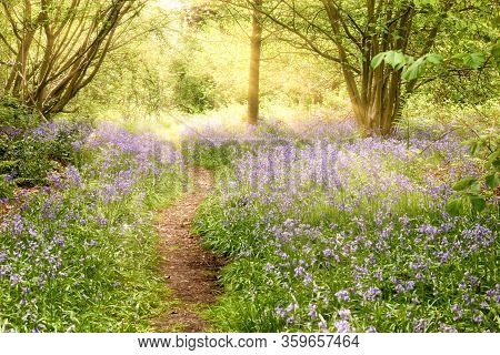 Bluebell Covered Woodland Path With Dawn Sunrise. Magical Natural Landscape In Norfol Uk