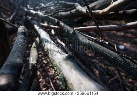 Perspective View Close Up Of Dry Branches Fallen Tree. Small Field Of Depth On Wooden Snag. Campfire