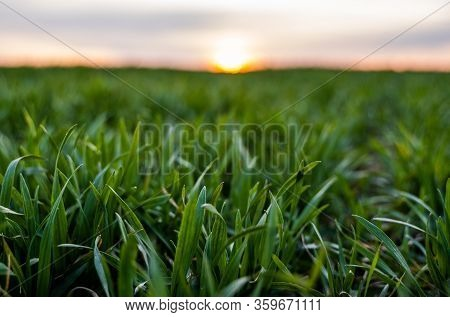 Young Green Wheat Seedlings Growing On A Field. Agricultural Field On Which Grow Immature Young Cere