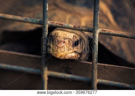 Close Up Of Galapagos Tortoise With Sad Eyes Trapped In A Steel Cage. Imprisoned Animals Concept.