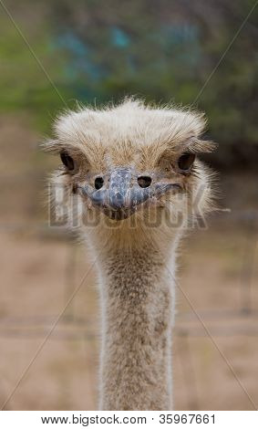 Closeup Of Head And Neck Of Ostrich With Funny Expression