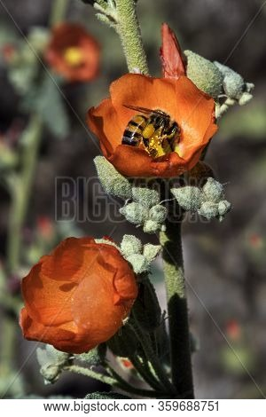 A Close-up Image Of The Wildflower Globe Mallow Captured In The Sonoran Desert Near Phoenix, Arizona