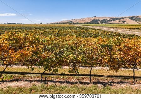 Colourful Pinot Noir Vineyard At Harvest Time In Marlborough Region Of New Zealand