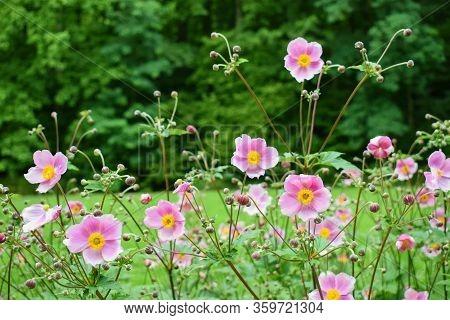 Chinese Anemone Or Japanese Anemone Flowers, Anemone Hupehensis Japonica