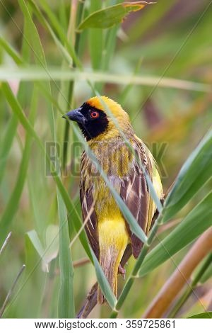 The Southern Masked Weaver Or African Masked Weaver (ploceus Velatus) Sitting Insite The Reed With G