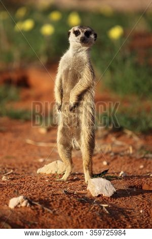 The Meerkat Or Suricate (suricata Suricatta) Standing In Typical Position And Keep Watch With Yellow