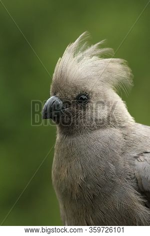 Detail Of The Grey Go-away-bird (corythaixoides Concolor), Also Known As Grey Lourie, Grey Loerie Wi