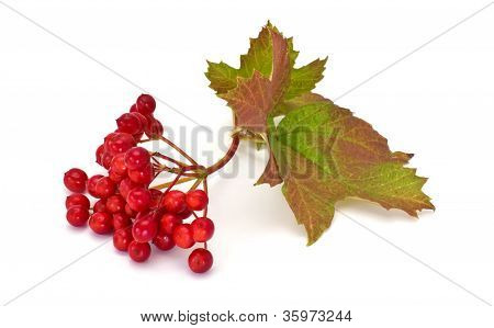 Berries of red viburnum isolated on white background poster