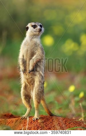 The Meerkat Or Suricate (suricata Suricatta) In The Blossoming Desert. Suricata On Patrol.