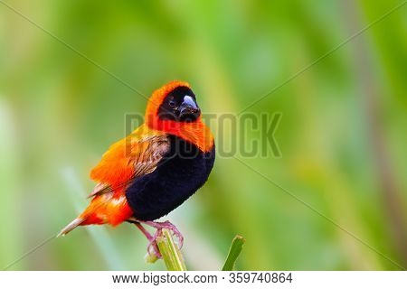 The Southern Red Bishop Or Red Bishop (euplectes Orix) Sitting On The Branch With Green Background.